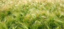 cereals-708409_960_720